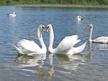 Swans in love Royalty Free Stock Photo