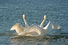Swans in love dance. Swans on river royalty free stock image