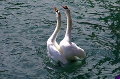 Swans in love. Dancing in the lake,Photo taken in Switzerland royalty free stock image