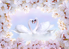 Swans in love framed by spring flowers Royalty Free Stock Photo