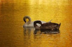 Swans in love Stock Photo