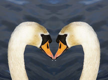 Swans Love Heart. A swan image designed to depict a love heart shape Royalty Free Stock Images