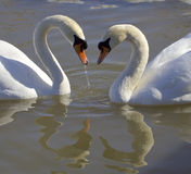 Swans. Love. Heart. Royalty Free Stock Images