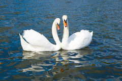 Swans in love, Hyde park Stock Photo