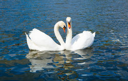 Swans in love, Hyde park Stock Images