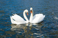 Swans in love, Hyde park Stock Photography