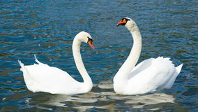 Swans in Love, Hyde park London stock video footage