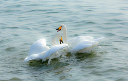 Swans in love. A pair of swans, like a couple, side of the water, while the inclination. Winter noon, Weihai Shandong, China Stock Photography