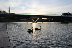 Swans. In love; two swan swimming under the Adelaide bridge stock photos