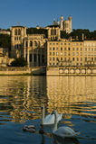Swans in Lyon Royalty Free Stock Photo