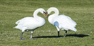 Swans Making Heart Shape Stock Images