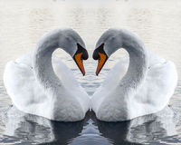 Swans In Love Making Heart Shape Royalty Free Stock Photo