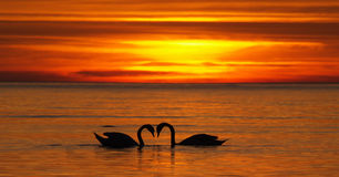 Two Swans Making A Heart In The Sunset