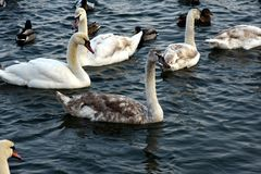 Swans and mallards. On Danube river Royalty Free Stock Photography