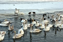 Swans and mallards. Living together in winter conditions Royalty Free Stock Image