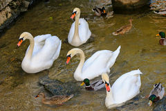 Swans and Mallards swimming in the Hallstatt lake Stock Photo