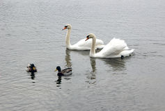 Swans and Mallards. Two Swans and Two Male Mallards Stock Images