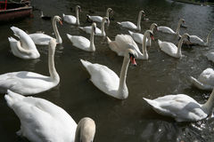 Swans 1 Royalty Free Stock Images