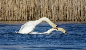 Swans mating. In a pond and reed in the background stock photo