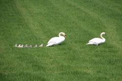 Swans on a Meadow in Holland stock photos
