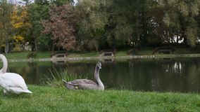 Swans in a meadow near the lake. Nature. Swans in a meadow near the lake stock footage