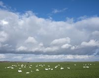Swans in meadow under cloudscape near amersfoort and eemnes in holland. Swans in green meadow under cloudscape near amersfoort and eemnes in the netherlands Royalty Free Stock Photography