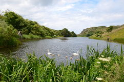 Swans, Mire Loch, St Abbs Head. A family of swans on the Mire Loch at St Abbs Head Stock Photos