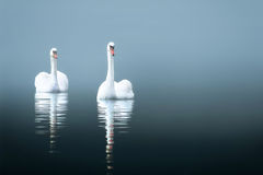 Swans in the misty lake Stock Image