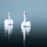 Swans in the misty lake Stock Images