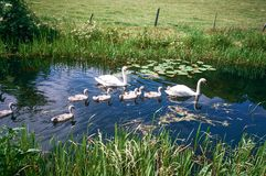 Swans on Montgomery Canal in Wales, UK Royalty Free Stock Photography