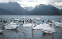 Swans in the mountains. Lake royalty free stock photography