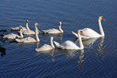 Swans Mute With Cygnets. In Morning Sun Royalty Free Stock Photo