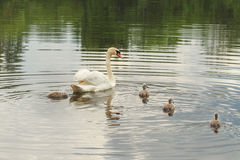 Swans-the mute, the family Royalty Free Stock Photos