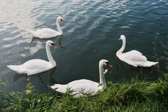 Swans Nature Graceful Peaceful Wild Concept Royalty Free Stock Photography