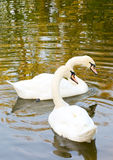 Swans on Nature water Stock Images