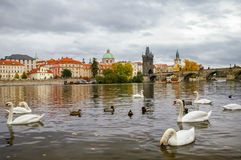 Swans near Charles Bridge in Prague Stock Photography