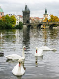 Swans near Charles Bridge in Prague Stock Image