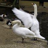Swans near a lake Stock Photos