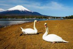 Swans near Lake Yamanaka with Mt. Fuji. Couple swans relax near Lake Yamanaka with Mt. Fuji view, Yamanashi, Japan Royalty Free Stock Images