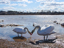 Swans near a river Royalty Free Stock Photo