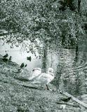 Swans near water at autumn sunny morning Stock Photos