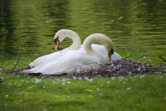 Swans Nest Royalty Free Stock Photography