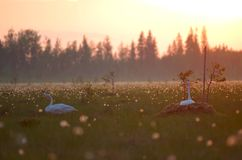 The swans nest Royalty Free Stock Photos