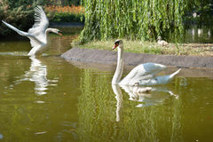 Swans with nestlings Royalty Free Stock Images