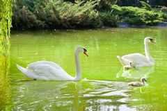Swans with nestlings Stock Photo