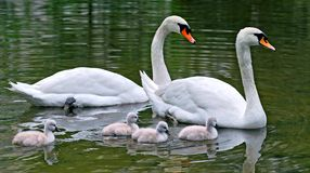 Swans with nestlings Royalty Free Stock Photography