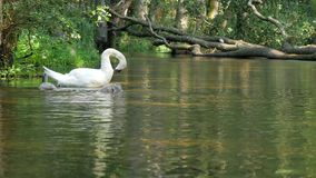 Swans with nestlings cleaning self. stock video footage