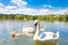 Swans with nestlings in Ljubljana. Stock Image