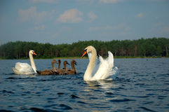 Swans with nestlings Royalty Free Stock Photos