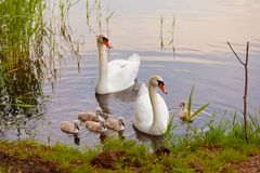 Swans with nestlings at  sunset Stock Images